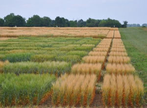 Test plots of barley varieties